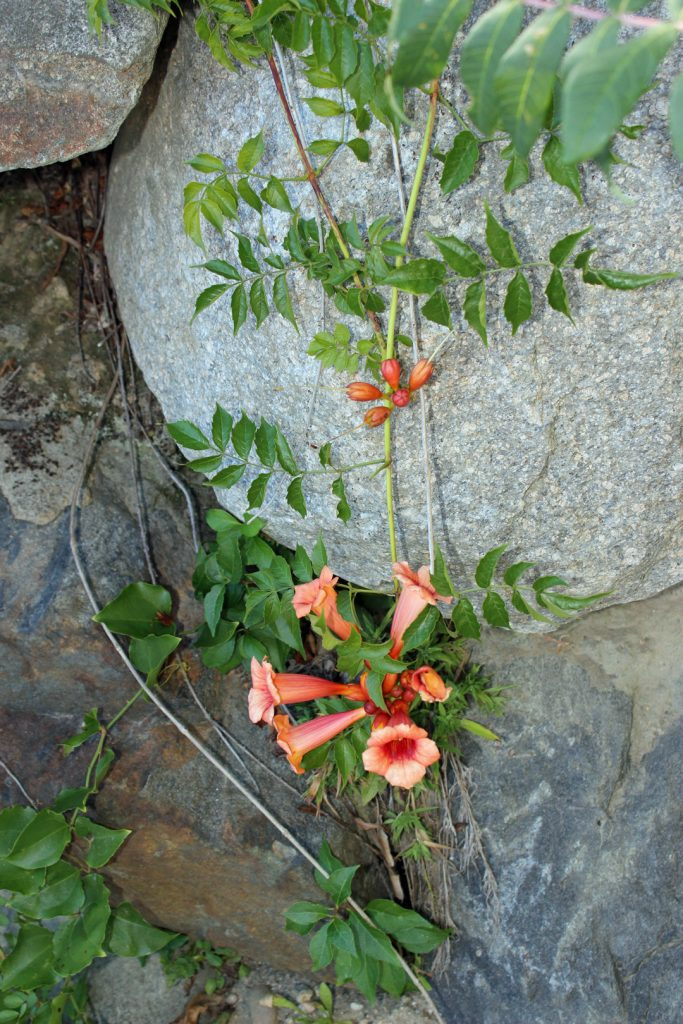 Apricot colored trumpet vine on the stone wall behind the property.